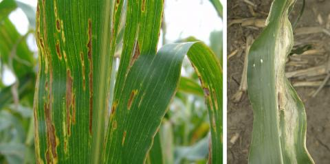 Bacterial leaf streak and Goss's wilt