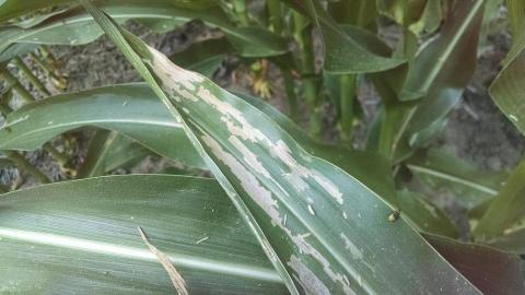 Western corn rootworm beetles feeding on a corn leaf