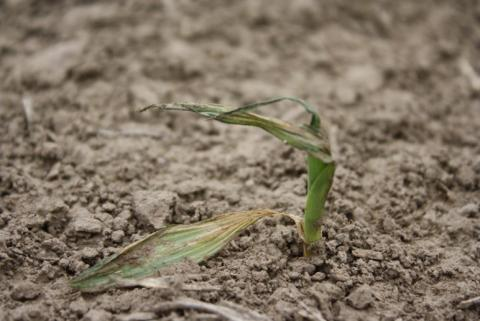 WInd-damaged corn plant