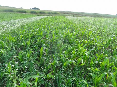 Cover crops in eastern Nebraska