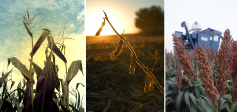 Composite photo of corn, soybean, and sorghum plants at harvest