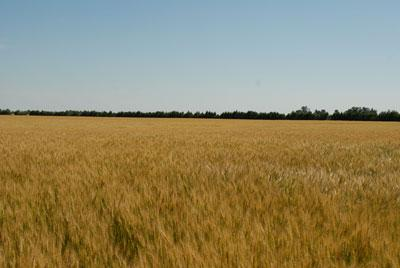 A wheat field. Links to full article.