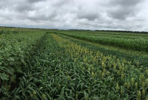 Double cropping trial near Mead