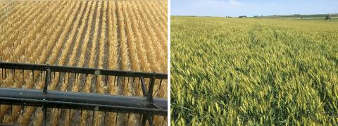 Photos of two very different eastern Nebraska wheat fields