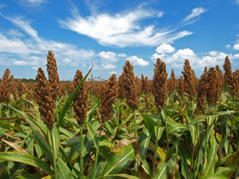 Field of grain sorghum