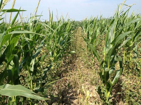Late herbicide application in corn after hail