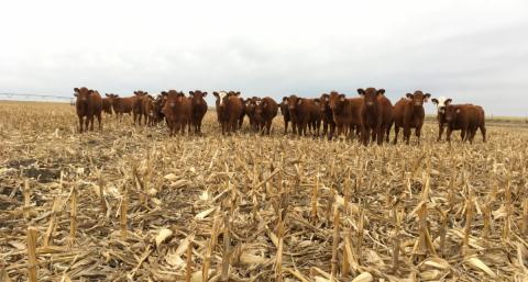 Cattle grazing corn stalks