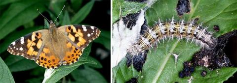 Painted lady butterfly and caterpillar