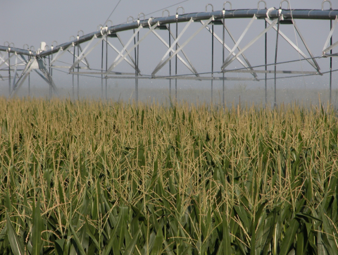 Center pivot irrigating late season field of corn.
