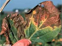 Leaf symptoms of brown stem rot of soybean