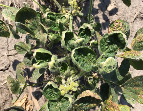 Dicamba injury in soybean