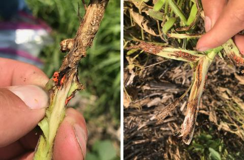 Soybean gall midge in stems