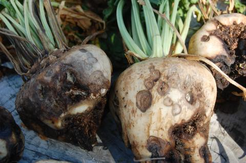 Dry rot canker in sugarbeet
