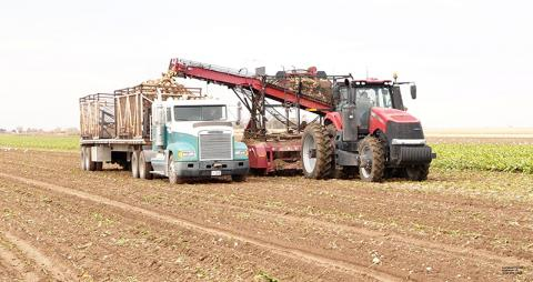 harvesting sugarbeets