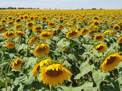 Sunflower field at the High Plains Ag Lab