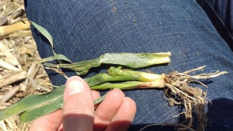 A March 14 noon-hour webinar will explore the issue of wheat stem maggot damaging corn planted directly into rye or wheat cover crops.