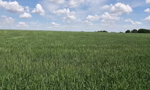 Wheat field in Saline County at heading