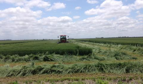 Windrowing forage wheat in south central Nebraska for processing into wheatlage. (Photos by Todd Whitney)