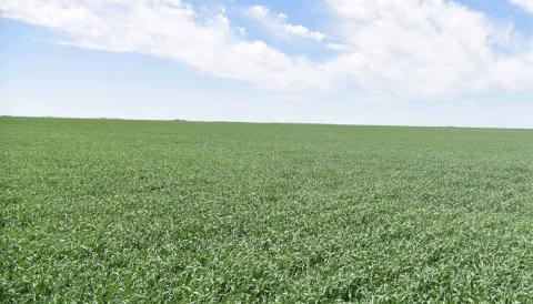 Wheat field 5/17/18