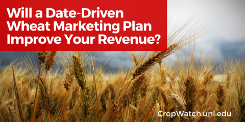 Graphic repeating the title: Will a Date-Driven Wheat Marketing Plan Improve Your Revenue?