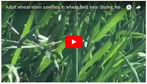 Wheat stem sawfly video screen capture