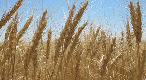 Field of winter wheat at harvest