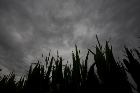 Corn field with a heavy cloud cover