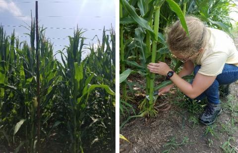 person measuring corn stalk diameter