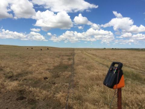 Cattle grazing on cheatgrass and ungrazed rangeland
