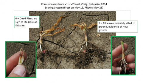 Photos illustrating two points in rating system used to evaluate freeze damage to seedling corn. These show corn recovery from frost at V1-V2 growth stage in 2014 near Craig
