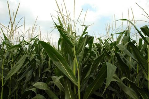 Modern corn hybrids, shown here, differ significantly from hybrids of 50 years ago.