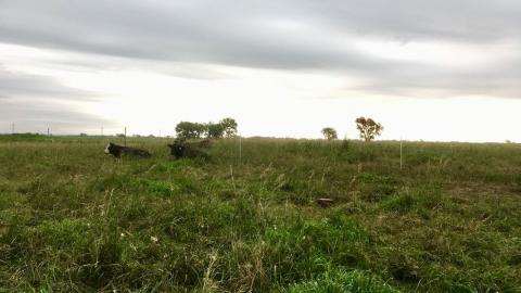 Figure 1. Cattle grazing smooth bromegrass pasture at Mead.