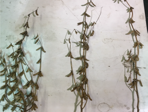 Three soybean plants demonstrating how plant architecture responds to planting population.