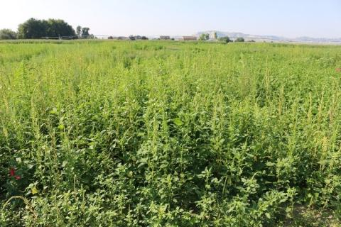 Trial studying efficacy of products on Palmer amaranth