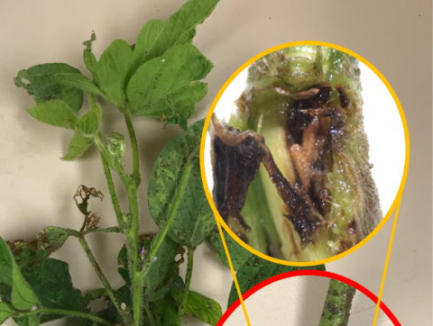Soybean gall midge larvae inside a soybean stem