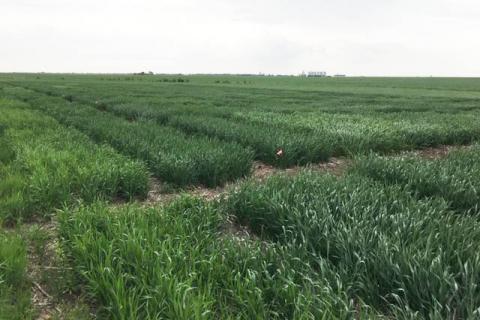 2018 Saline County Wheat Variety Trials