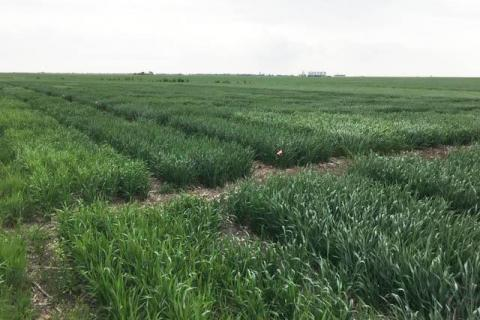 Winter wheat variety trials in Saline County (Photo by Randy Pryor)