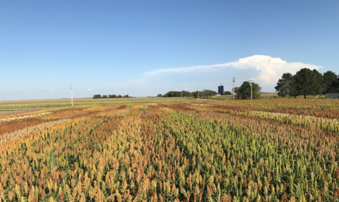 Grain sorghum variety trial at the Henry J. Stumpf International Wheat Center near Grant, Nebraska, summer 2019.
