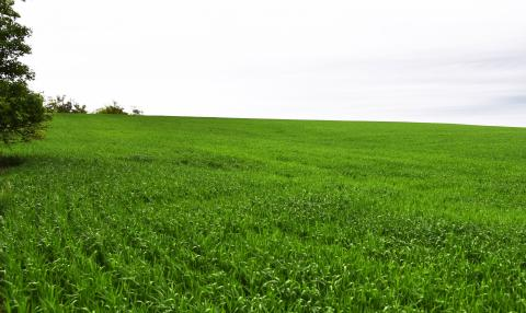 Figure 1. A grower's wheat field in Webster County with low disease levels on May 23. (Photos by Stephen Wegulo)