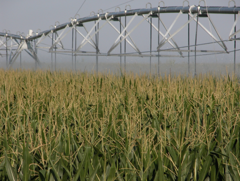 Center pivot irrigating late-season corn