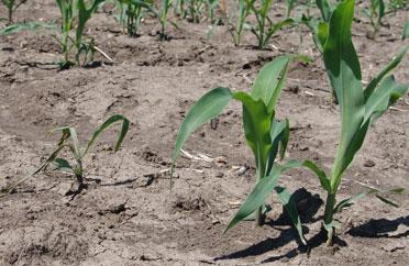 Corn seedling exhibiting disease symptoms