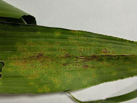 Southern rust on a corn leaf