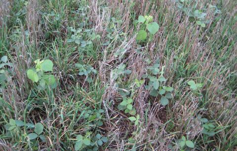Cover crops and weeds in early spring
