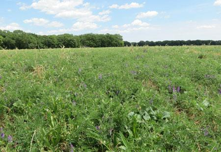 Field of diverse cover crops