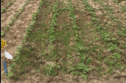 Dry bean weed management trial