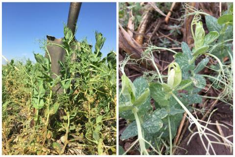 Two photos showing carryover injury of atrazine in the fall and mesotrione applied in the spring on field peas