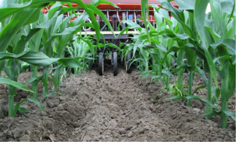 Figure 1. University of Wisconsin researchers studied drilling cover crops into V5 corn. (Source: University of Wisconsin Integrated Pest and Crop Management)
