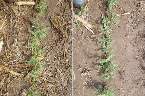 Two photos of chickpeas in the field, one grown in no-till (L) and one grown with tillage (R) at Grant in 2018