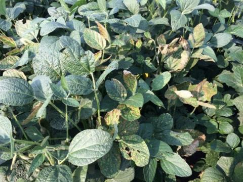 Sudden death syndrome on a soybean plant
