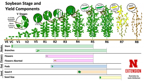 An infographic showing soybean yield components and when they affect yield.